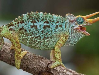 Chameleons Ranger Rick Jr October 2017