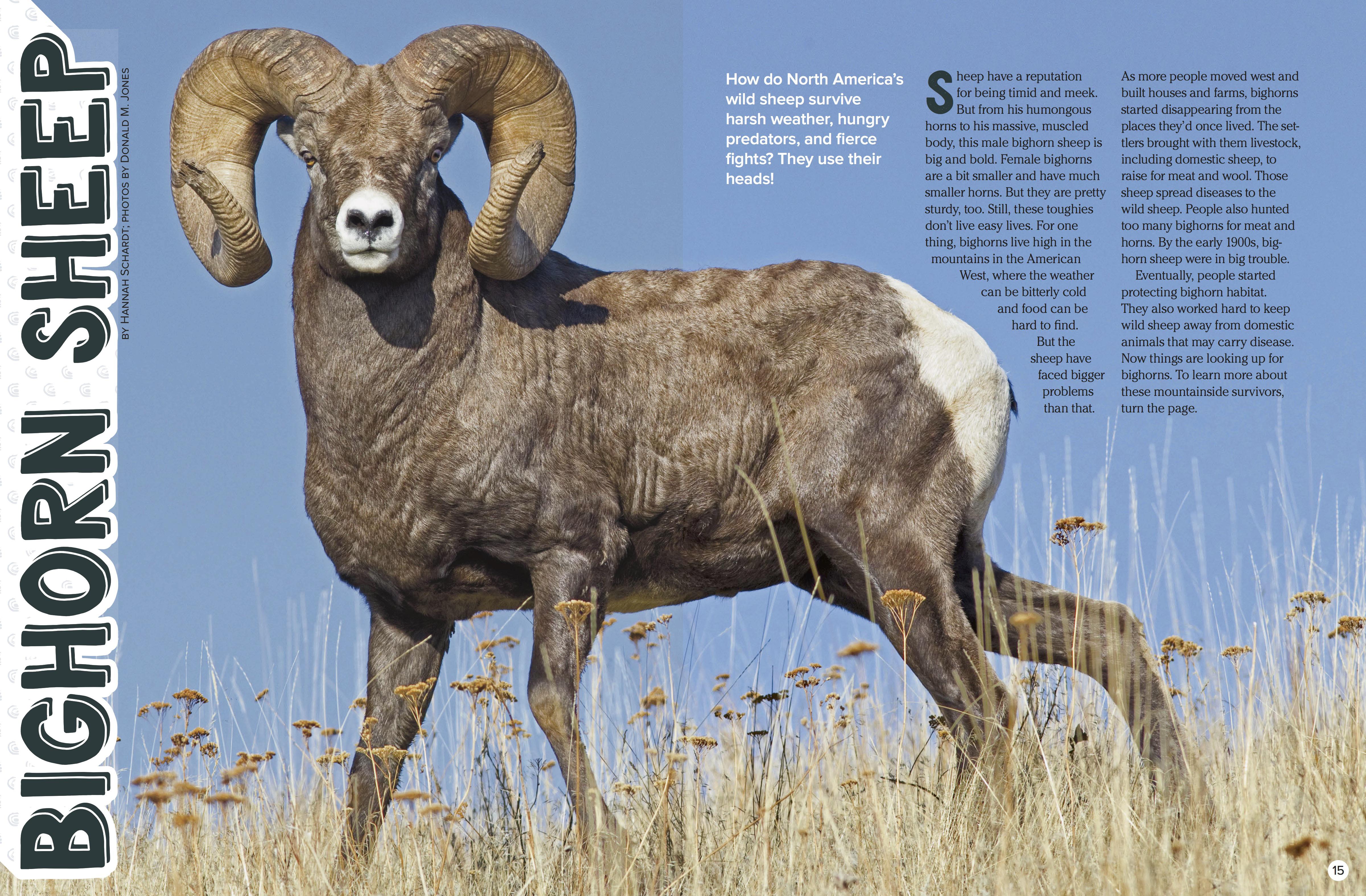 Bighorn Sheep Nwf Ranger Rick