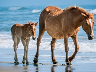 Ranger Rick Jr Beach Horses May 2014