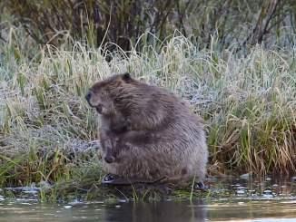 Grooming Beaver