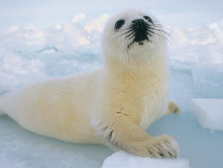 Ranger Rick Harp Seals February 2013
