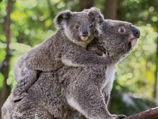 Ranger Rick Koala Kid February 2014