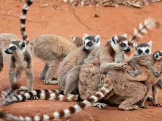 Ranger Rick Ring-Tailed Lemur May 2014