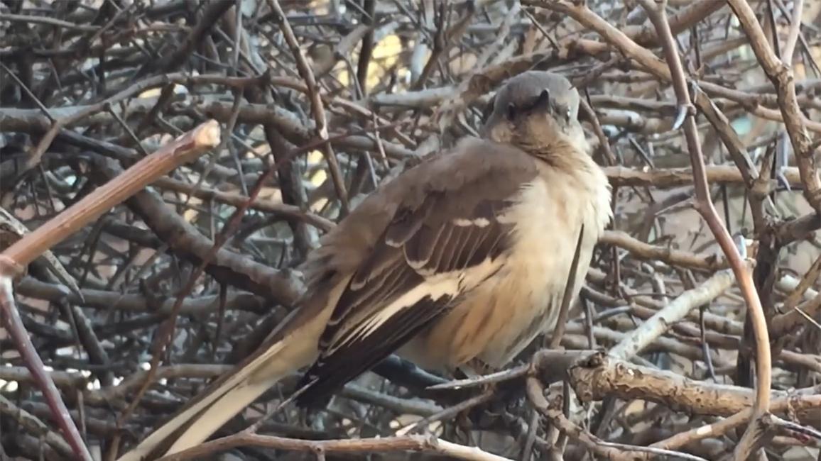 Listen To A Mockingbird Mimic Other Sounds