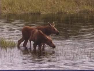 Moose Video August 2018 RR