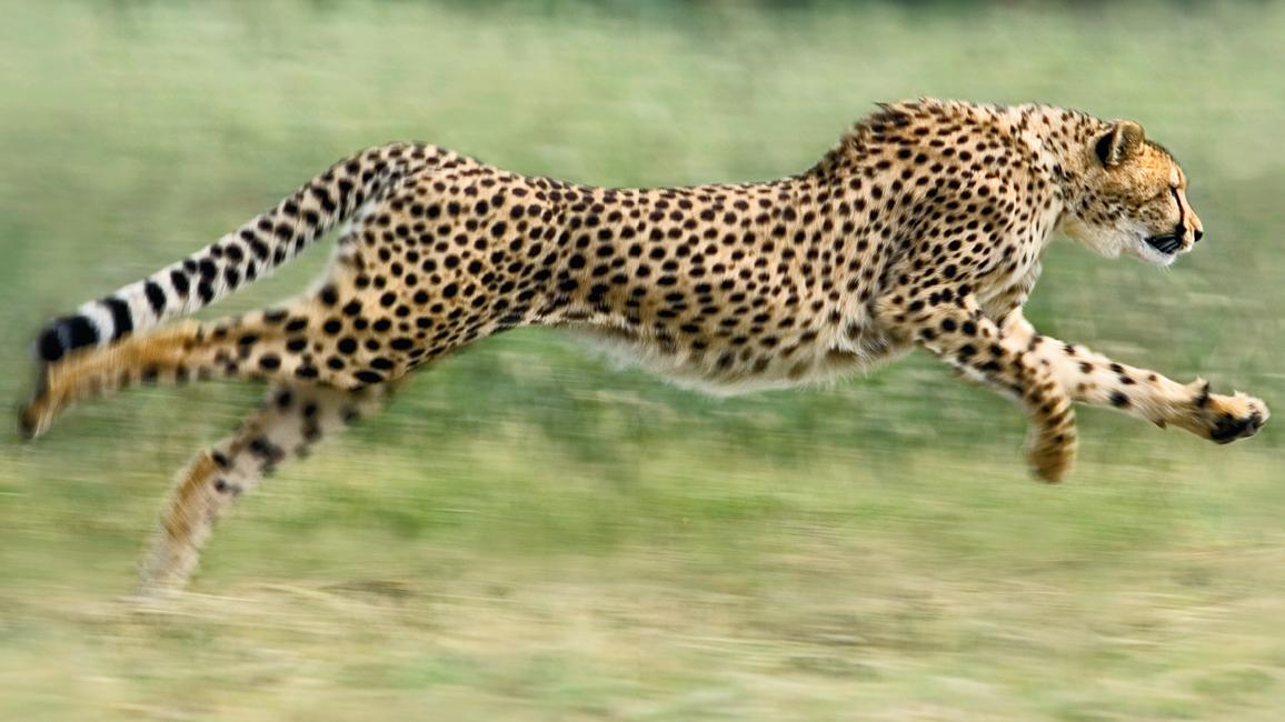 cheetah tricks nwf ranger