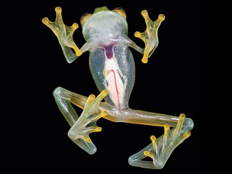 Ranger Rick Glass Frog August 2015