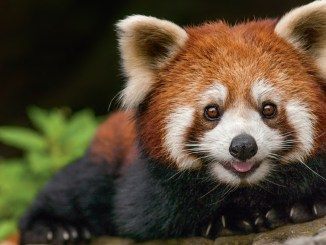 Ranger Rick Red Panda August 2016