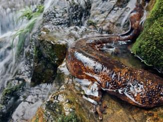 Ranger Rick Giant Salamander March 2015