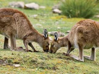 Ranger Rick Jr Kangaroo Island March 2015