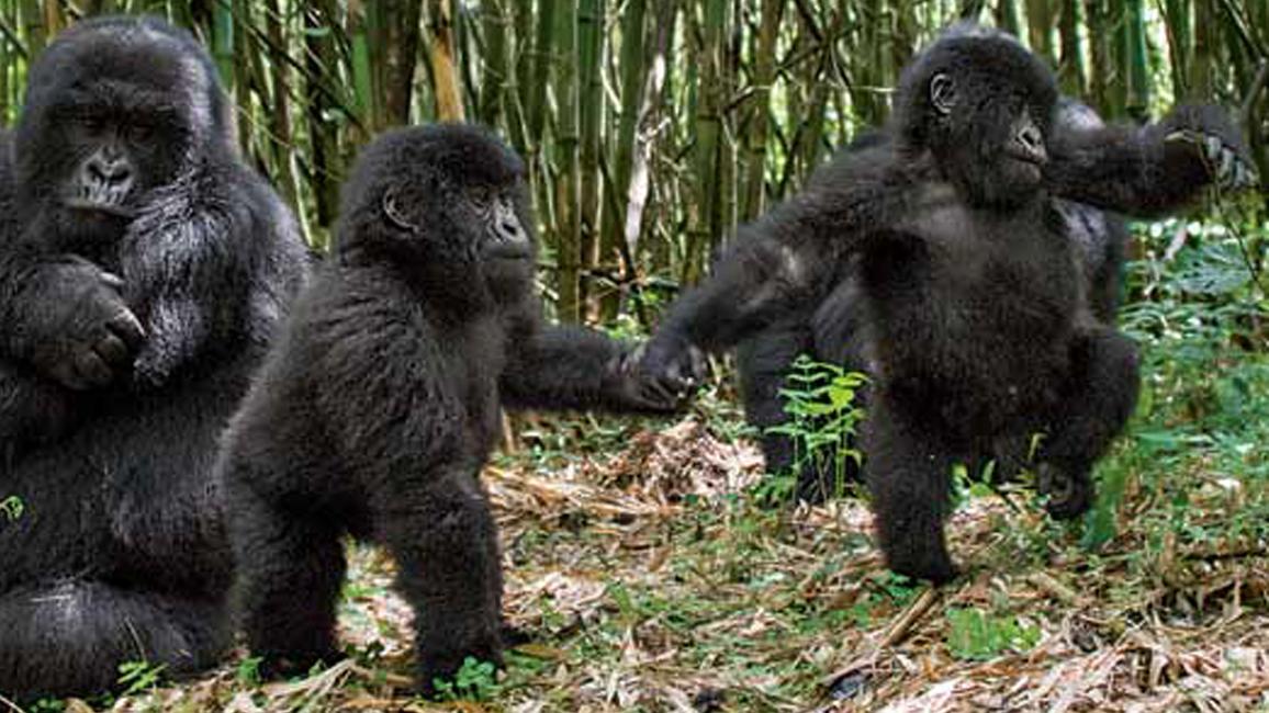 Gorila civică
