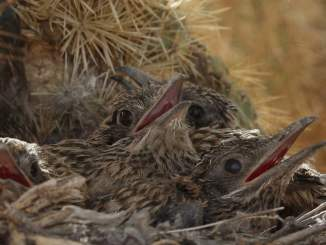Roadrunner mother and babies
