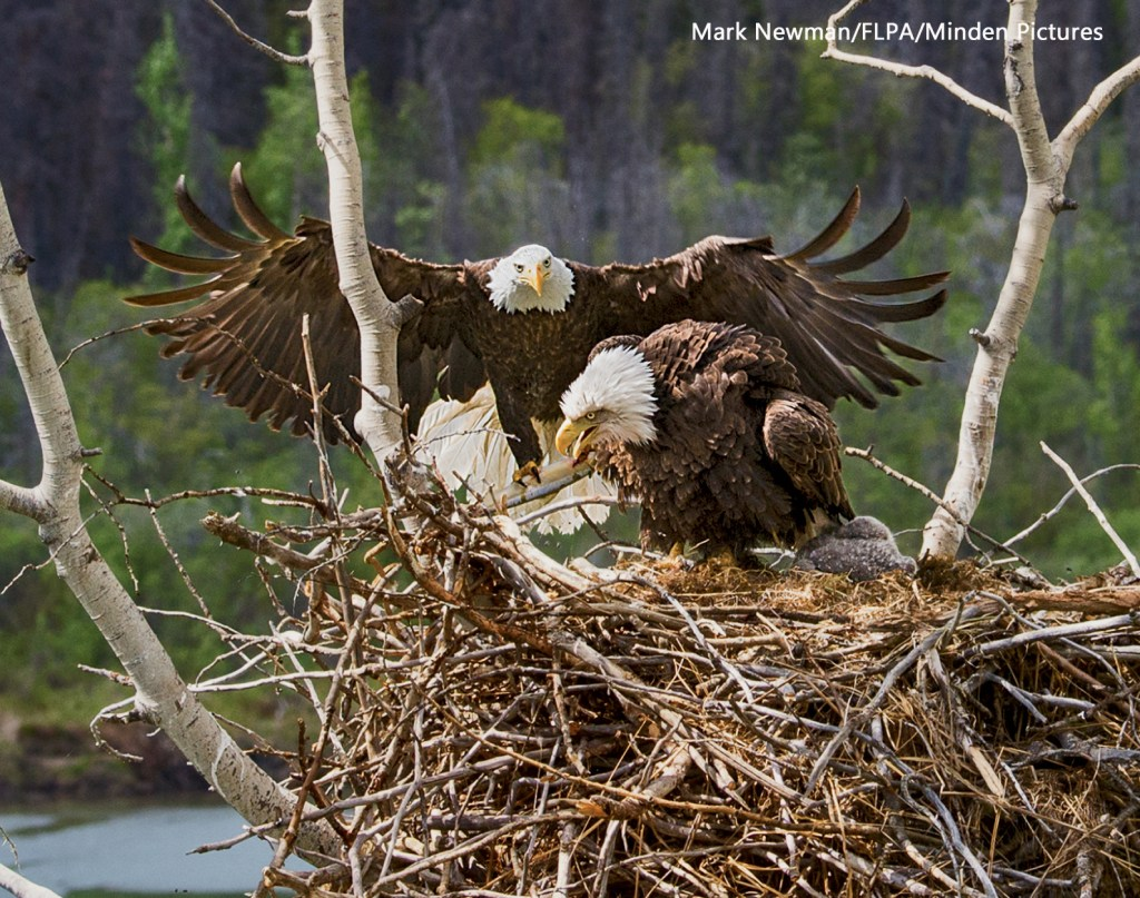 Eagle Nest by Mark Newman/FLPA/Minden Pictures