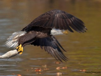 bald eagle by Joanna Pinneo and Lynda Richardson 1156x650