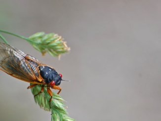 cicada thomas