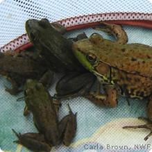 frogs in a bsket