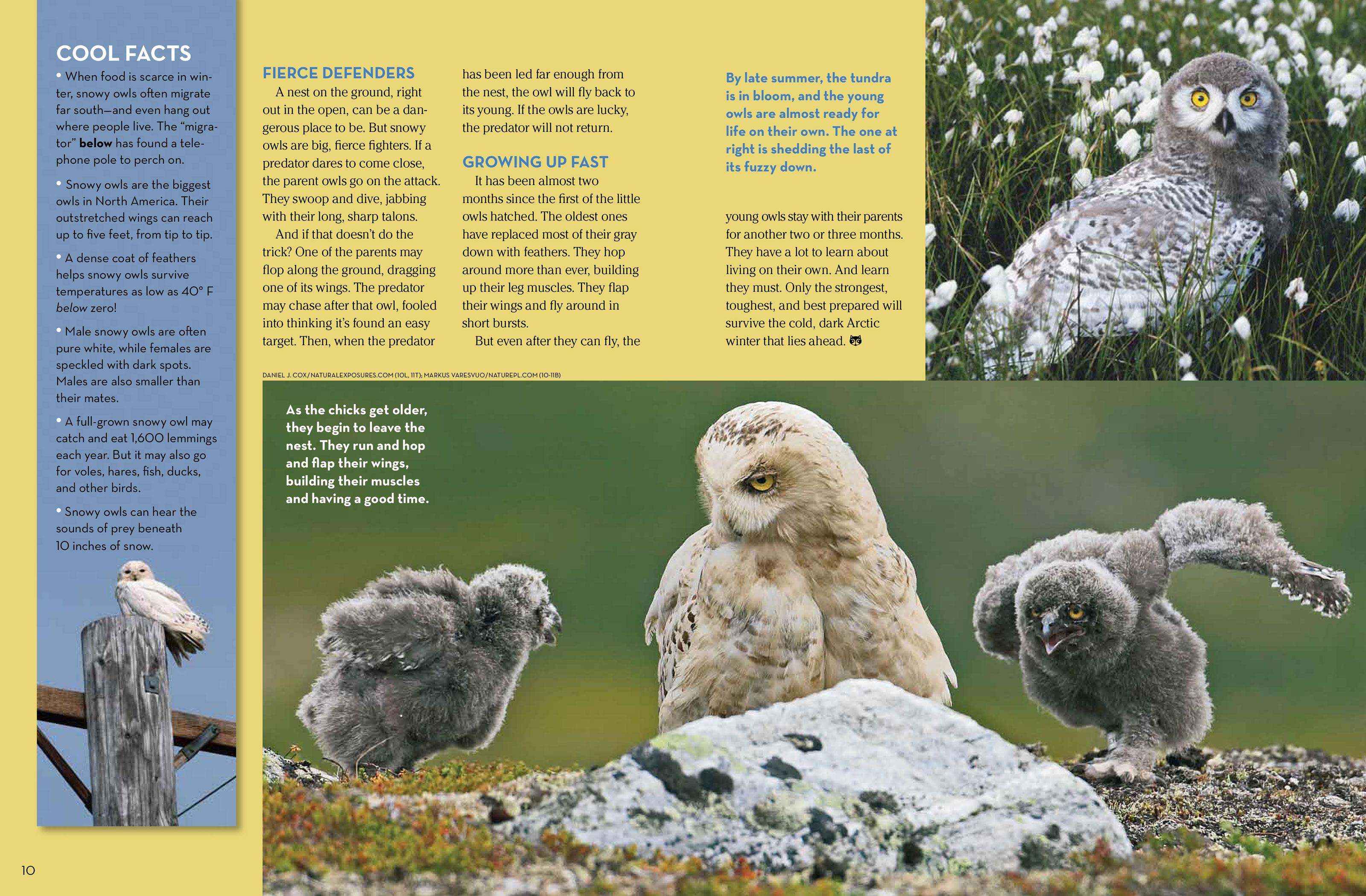 Snowy Owls - NWF   Ranger Rick