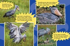 shoebird spread 3