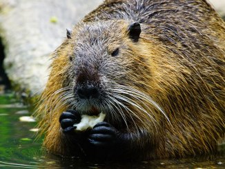 featured beaver