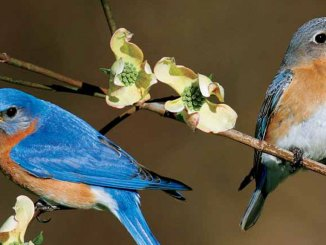 featured bluebirds