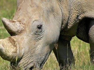 featured rhino