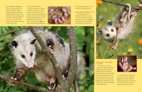opossum 2