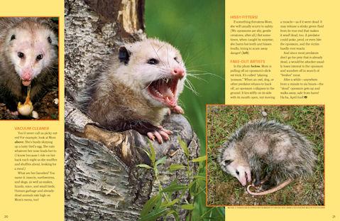 opossum 3