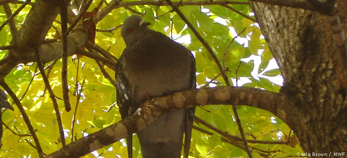 pigeon on branch