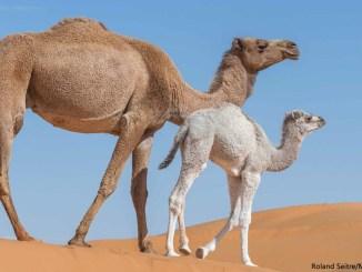 Camels by Roland Seitre Minden 1156x650