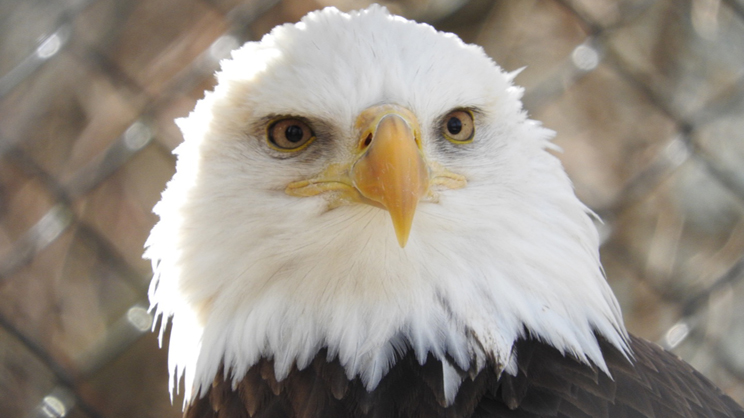 Isabella Z_bald eagle744x418