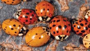 Ladybugs by Edward L Snow Animals Animals 1156x650