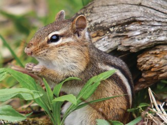 Chipmunk by LINDA FRESHWATERS ARNDT 1156x650
