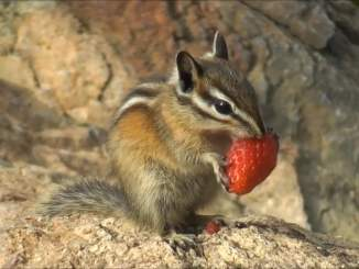 Chipmunk Strawberry Love Video by Mike Chenny