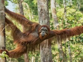 Orangutan-Photo-by-Suzi-Eszterhas-1156x650