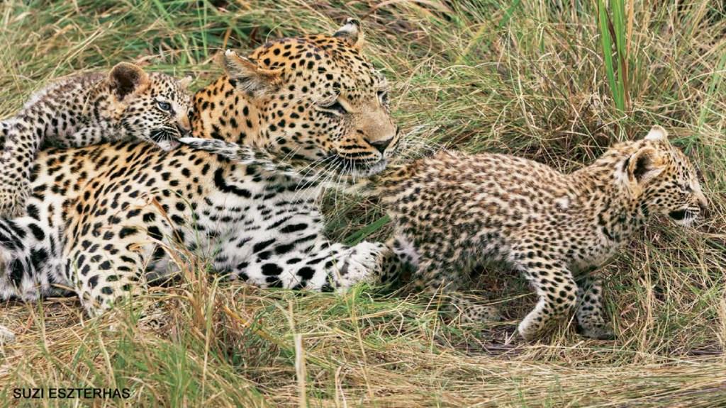Little Leopard's Tale