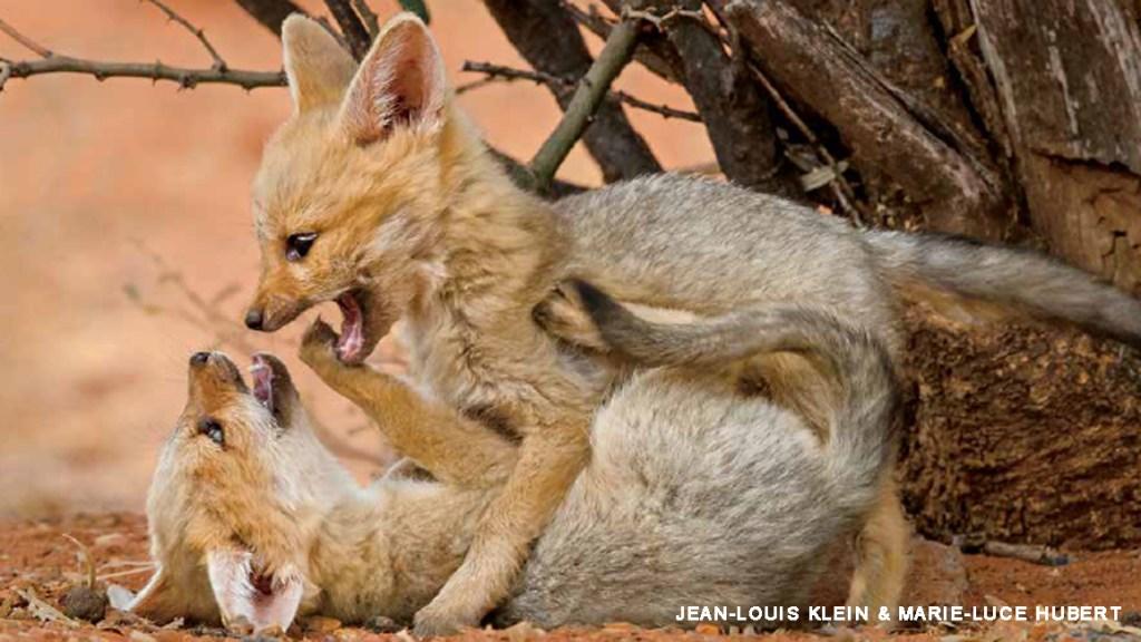Cape Foxes