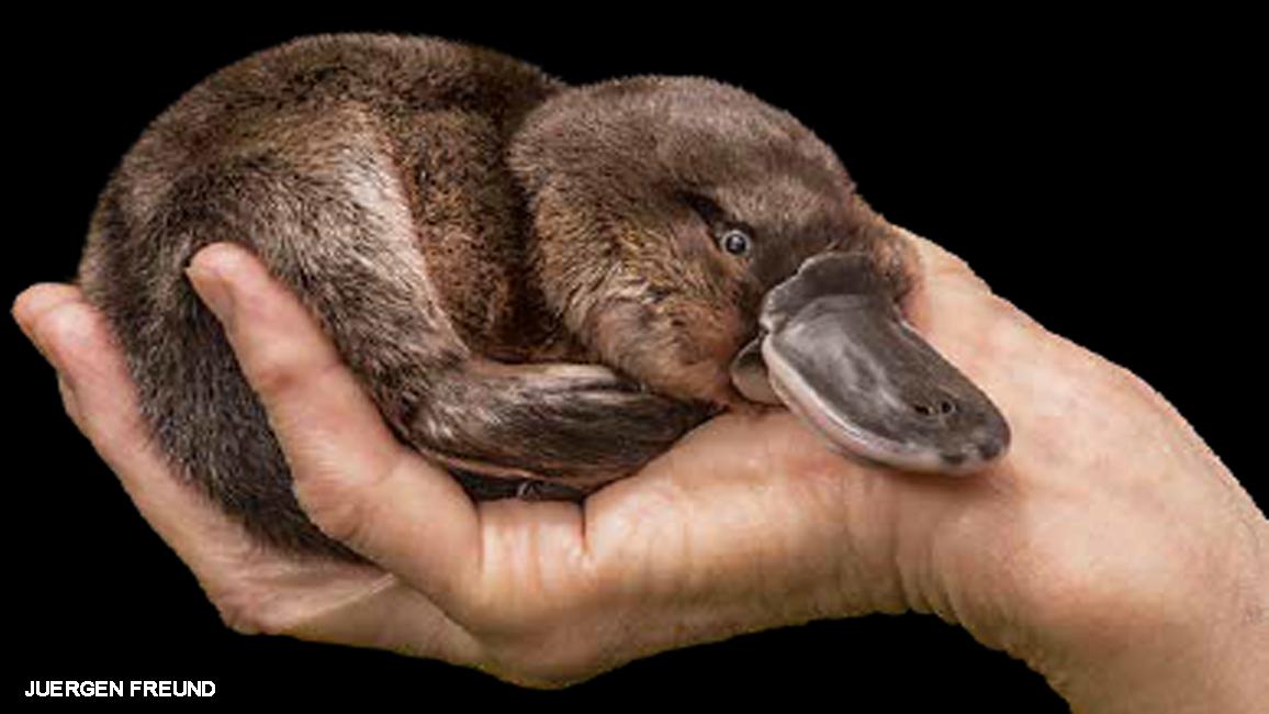 peculiar platypus nwf ranger