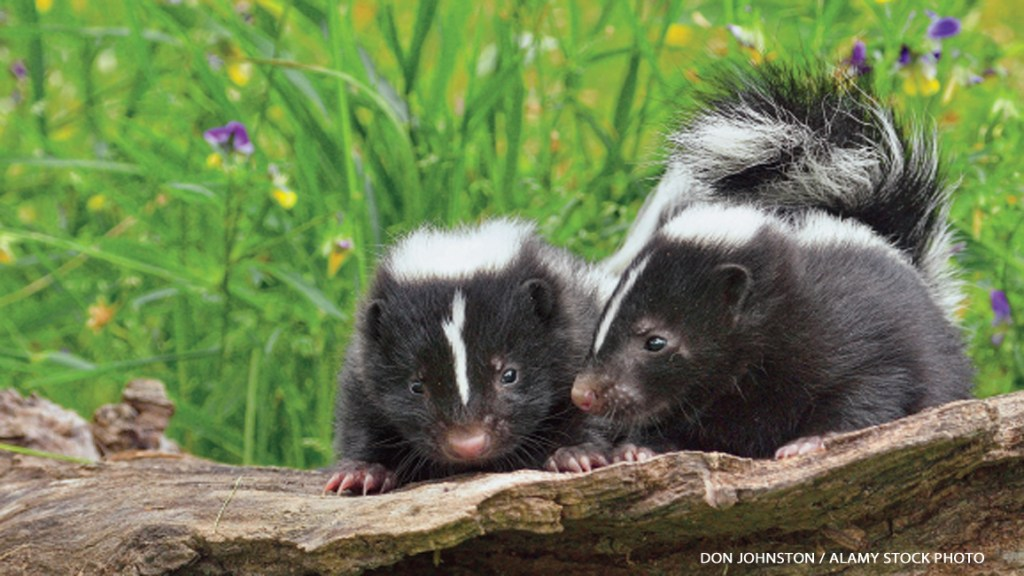 Flora and Sammy's Guide to Skunks