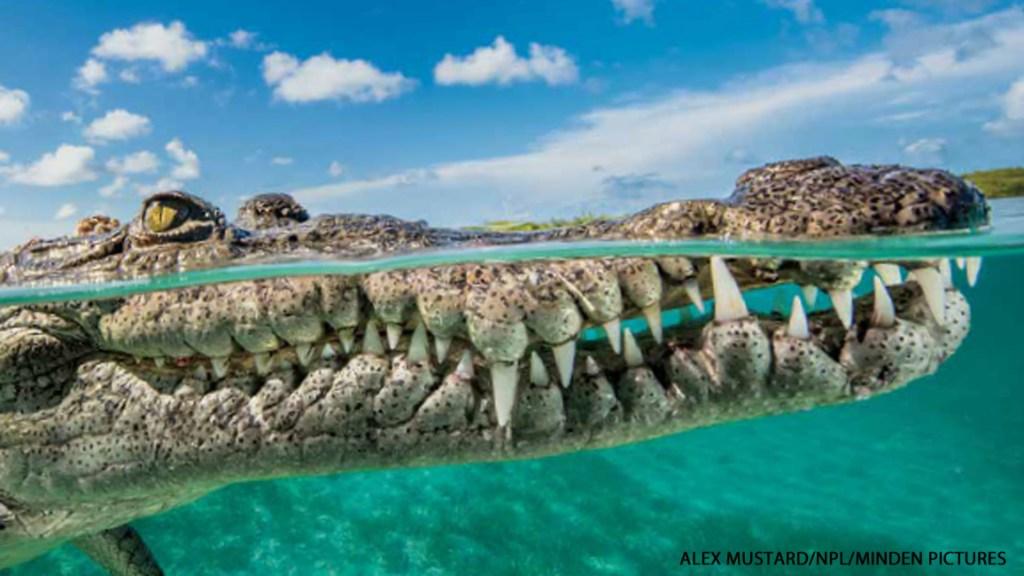 Croc or Gator?