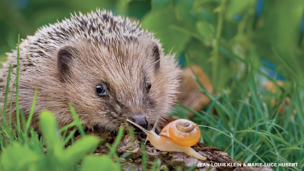 Hooray for Hedgehogs!