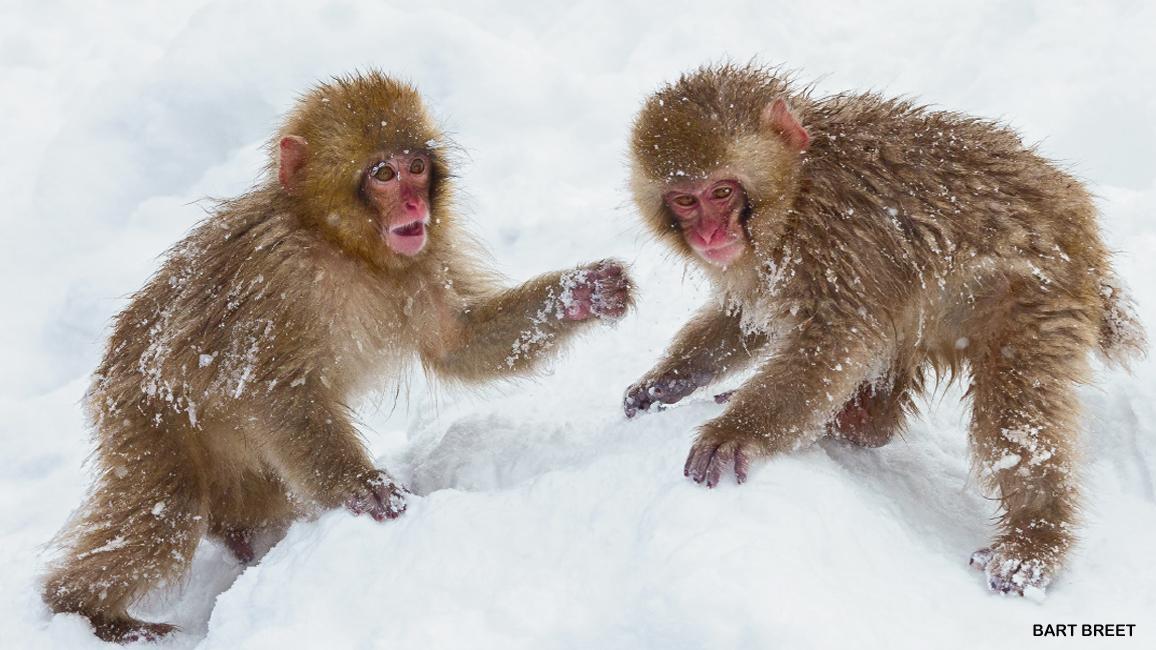 Monkeys in the Snow