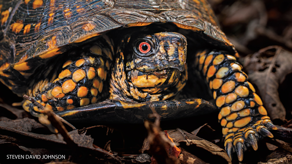 Backyard Wildlife: Box Turtle