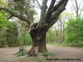 """Film set"" for the Ancient & Veteran Trees video, an oak pollard at Langdon Hills Country Park."