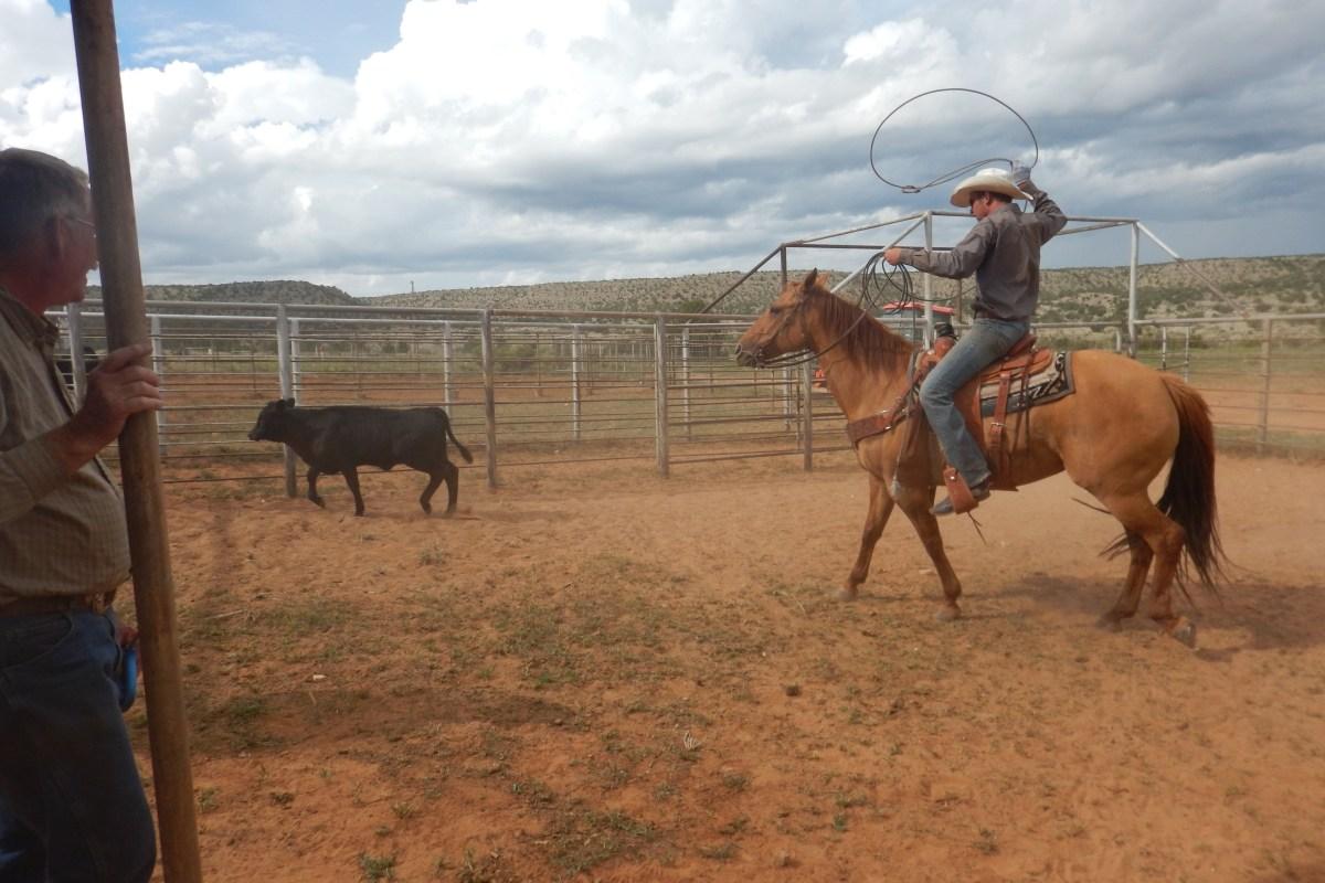 Ryan ropes calves.