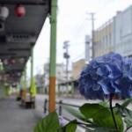中央町の紫陽花
