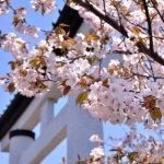 桜めぐり 2014 (室蘭八幡宮)