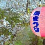 桜めぐり 2015 (母恋富士下の桜並木)