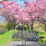 桜めぐり 2015 (天沢小学校)