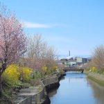 桜めぐり 2016 (知利別川沿い)