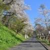 桜めぐり 2019(母恋富士下の桜並木)